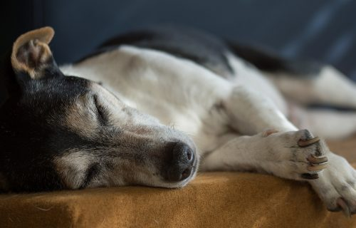 jack-russell-2310391_1920